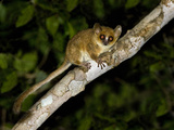 Close-Up of a Pygmy Mouse Lemur (Microcebus Myoxinus), Madagascar Photographic Print