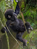 Young Mountain Gorilla (Gorilla Gorilla Beringei) Hanging from Tree, Rwanda Photographic Print