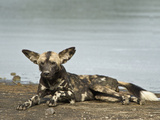 African Wild Dog (Lycaon Pictus) Lying at Riverside, Tanzania Lámina fotográfica