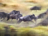 Herd of Wildebeests Running, Tanzania Lámina fotográfica