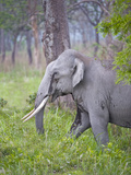 Asian Elephant (Elephas Maximus) Bull Grazing in a Field, India Photographic Print