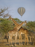 Two Masai Giraffes (Giraffa Camelopardalis Tippelskirchi) and a Hot Air Balloon, Tanzania Lámina fotográfica