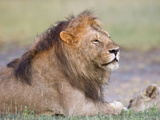 Lion (Panthera Leo) Relaxing, Tanzania Lámina fotográfica