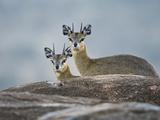 Two Klipspringers (Oreotragus Oreotragus), Tanzania Photographic Print