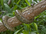 Madagascar Tree Boa (Boa Manditra) on a Tree, Madagascar Photographic Print