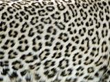Spotted Skin of a Leopard (Panthera Pardus), Tanzania Lámina fotográfica