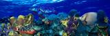 Stoplight Parrotfish (Sparisoma Viride) with a Hawksbill Turtle (Eretmochelys Imbricata) Underwater Photographie par  Panoramic Images