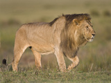 Lion (Panthera Leo) Walking, Tanzania Lámina fotográfica