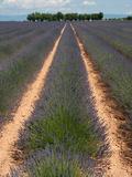 Lavender Field, Plateau De Valensole, Alpes-De-Haute-Provence, Provence-Alpes-Cote D'Azur, France Photographic Print