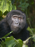 Close-Up of a Mountain Gorilla (Gorilla Beringei Beringei), Bwindi Impenetrable National Park, U... Photographic Print by Green Light Collection
