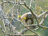 Hoolock Gibbon (Hoolock) Female on a Tree, India Lámina fotográfica