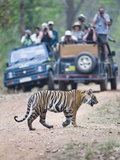 Tourists in Safari Jeeps Photographing an Bengal Tiger (Panthera Tigris Tigris), India Photographic Print