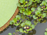Giant Water Lily and Water Hyacinth in a Pond, Brazil Photographic Print