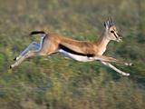 Thomson's Gazelle (Eudorcas Thomsonii) Running, Tanzania Photographic Print