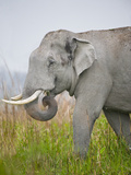 Asian Elephant (Elephas Maximus) in a Field, India Photographic Print