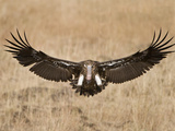 Hooded Vulture (Necrosyrtes Monachus) Landing in a Field, Kenya Photographic Print