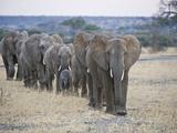 African Elephants (Loxodonta Africana) Walking in Line, Tanzania Lámina fotográfica