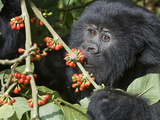 Mountain Gorilla (Gorilla Beringei Beringei) Eating Cherries, Rwanda Photographic Print