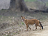 Dhole (Cuon Alpinus) in a Forest, India Lámina fotográfica