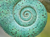 Close-Up of a the Coiled Tail of a Chameleon, Madagascar Photographic Print
