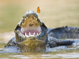 Pantanal Caiman with Butterfly Perched on Tip of Snout, Brazil Impressão fotográfica