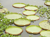 Giant Water Lilies in a Pond, Brazil Photographic Print