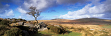 Crooked Tree at Feather Tor, Staple Tor, Dartmoor, Devon, England Photographic Print by  Panoramic Images