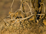 Lion (Panthera Leo) Hiding Behind Bushes, Kenya Photographic Print
