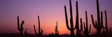 Silhouette of Saguaro Cacti (Carnegiea Gigantea) on a Landscape, Saguaro National Park, Tucson, ... Photographic Print by  Panoramic Images