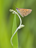 Close-Up of a Skipper Butterfly, Madagascar Photographic Print