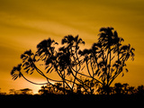 Silhouette of Trees at Sunrise, Kenya Photographic Print