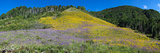Sunflowers and Larkspur Wildflowers on Hillside, Colorado, USA Photographic Print by  Panoramic Images