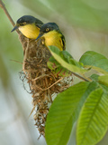 Close-Up of Two Common Tody-Flycatchers (Todirostrum Cinereum), Brazil Papier Photo