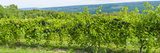Grapevines in a Vineyard, Finger Lakes, New York State, USA Photographic Print by  Panoramic Images