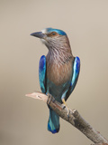 Close-Up of an Indian Roller (Coracias Benghalensis), India Papier Photo par  Panoramic Images