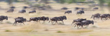 Herd of Wildebeests Running in a Field, Tanzania Photographic Print by  Panoramic Images