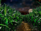 Dark Corn Field Photographic Print by  Panoramic Images