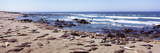 Elephant Seals on the Coast, Big Sur, California, USA Photographic Print by  Panoramic Images