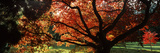 Acer Tree in a Garden, Thorp Perrow Arboretum, Bedale, North Yorkshire, England Photographic Print by  Panoramic Images