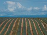 Lavender Field, Route De Manosque, Plateau De Valensole, Alpes-De-Haute-Provence, Provence-Alpes... Photographic Print