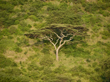 Umbrella Thorn Acacia (Acacia Tortilis) Tree in a Forest, Tanzania Photographic Print