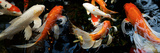 Koi Carp Swimming Underwater Photographic Print by  Panoramic Images
