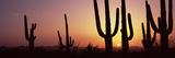 Silhouette of Saguaro Cacti (Carnegiea Gigantea) on a Landscape, Saguaro National Park, Tucson, ... Photographic Print by  Panoramic Images