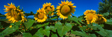 Panache Starburst Sunflowers in a Field, Hood River, Oregon, USA Photographic Print by  Panoramic Images