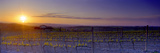 Vineyard at Dusk, Val D'Orcia, Siena Province, Tuscany, Italy Photographic Print by  Panoramic Images