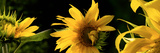 Sunflowers Photographic Print by  Panoramic Images