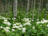 Yarrow and Aspen Trees Along Gothic Road, Mount Crested Butte, Gunnison County, Colorado, USA Photographic Print by  Panoramic Images