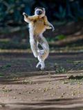 Verreaux's Sifaka (Propithecus Verreauxi) Lemur Dancing, Madagascar Fotografisk tryk