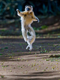 Verreaux's Sifaka (Propithecus Verreauxi) Lemur Dancing, Madagascar Photographic Print