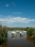 Camargue White Horses in a Lagoon Along D85A, Camargue, Saintes-Maries-De-La-Mer, Bouches-Du-Rho... Photographie